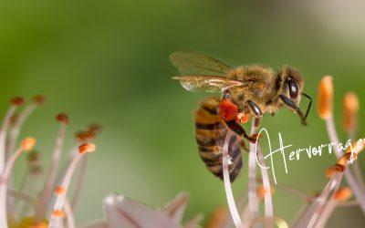 Die Blumenwiese – ein Schlaraffenland für Bienen, Hummeln und Schmetterlinge